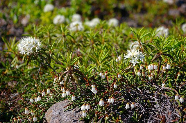 樽前山は花のシーズンイン_f0138096_22533099.jpg