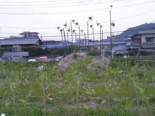 海田町東広島バイパス沿いのひまわり畑、すくすく育つ_b0095061_885753.jpg
