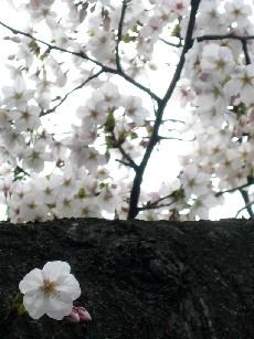 桜の木_e0003966_221293.jpg