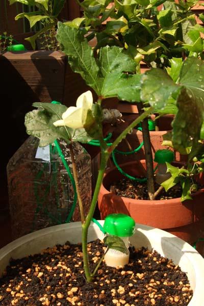 オクラの花が咲いた♪_c0093301_16242284.jpg