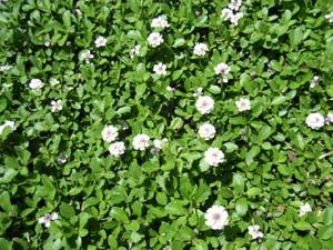 ゴーヤーの花が咲いた_b0038919_19412080.jpg