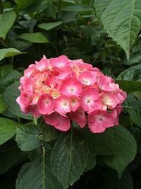 紫陽花の季節・・・?_f0129627_1081055.jpg