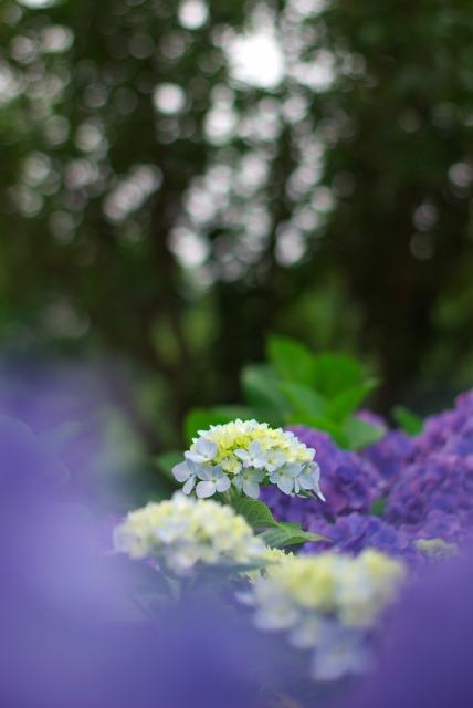 紫陽花_e0063851_18451680.jpg