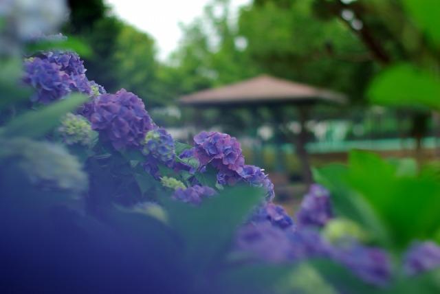 紫陽花_e0063851_18454773.jpg