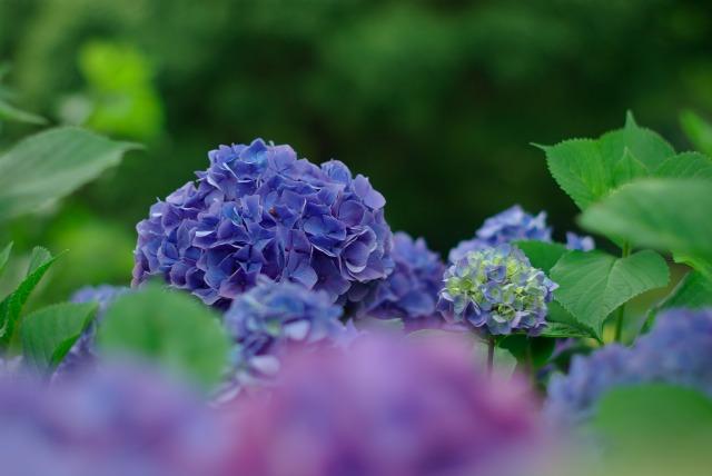 紫陽花_e0063851_18461369.jpg