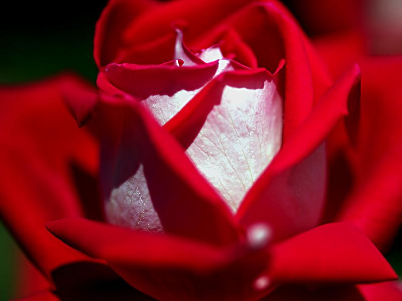 赤いバラ_a0101656_3272031.jpg
