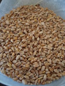 麦+ふすま+オーツ麦_f0106597_2382693.jpg