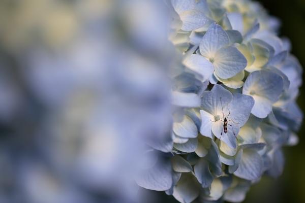 紫陽花園(太閤山ランド)_e0126642_15211821.jpg