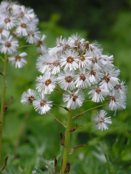 白馬  八方尾根の花  3_a0027125_6481073.jpg