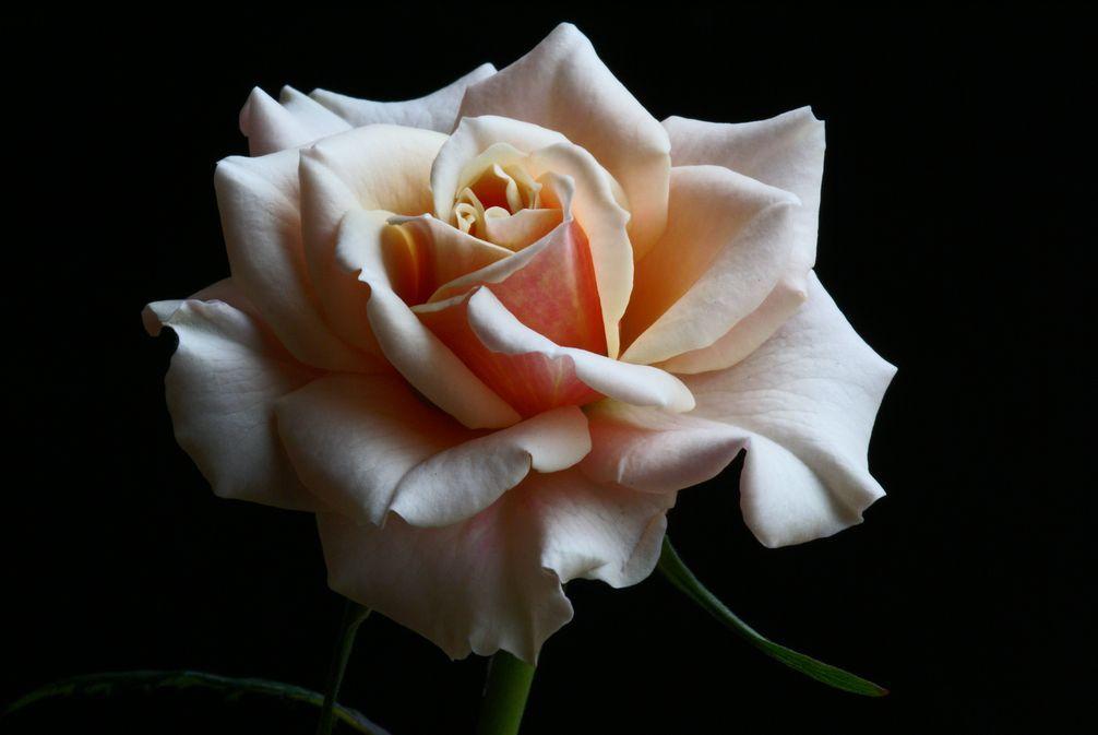 薔薇と近況報告_d0086248_6491868.jpg