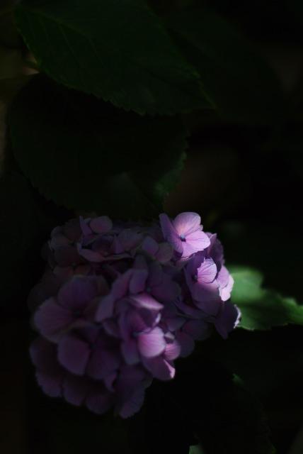 静寂の中で ~紫陽花~_e0063851_1919533.jpg