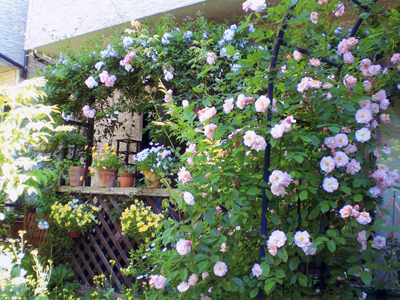 Photoコーネリアの咲く庭_a0094959_1223677.jpg