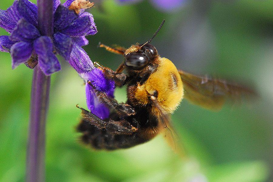 クマバチの画像 p1_35