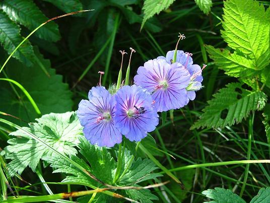 礼文島に咲く(高山植物)_d0123528_12403581.jpg
