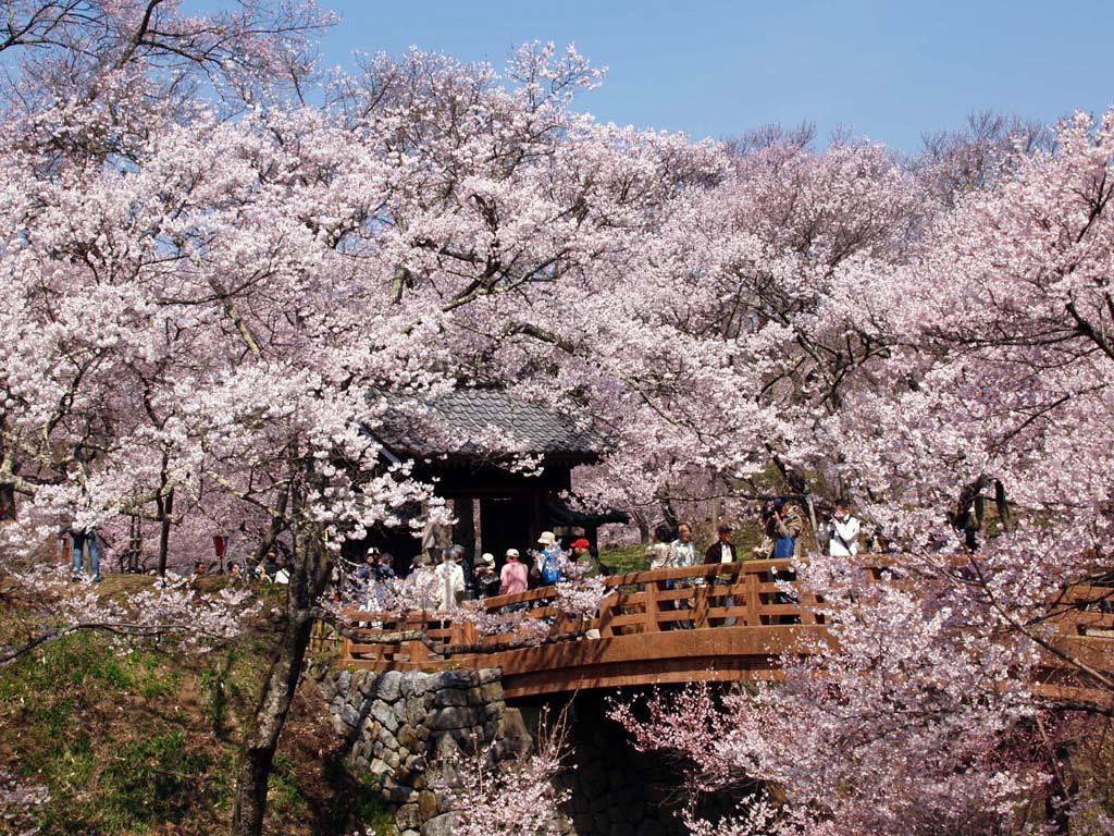 高遠城址公園の桜 「長野県伊那市高遠町」_e0127034_10484944.jpg
