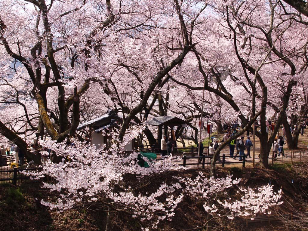 高遠城址公園の桜 「長野県伊那市高遠町」_e0127034_10504858.jpg
