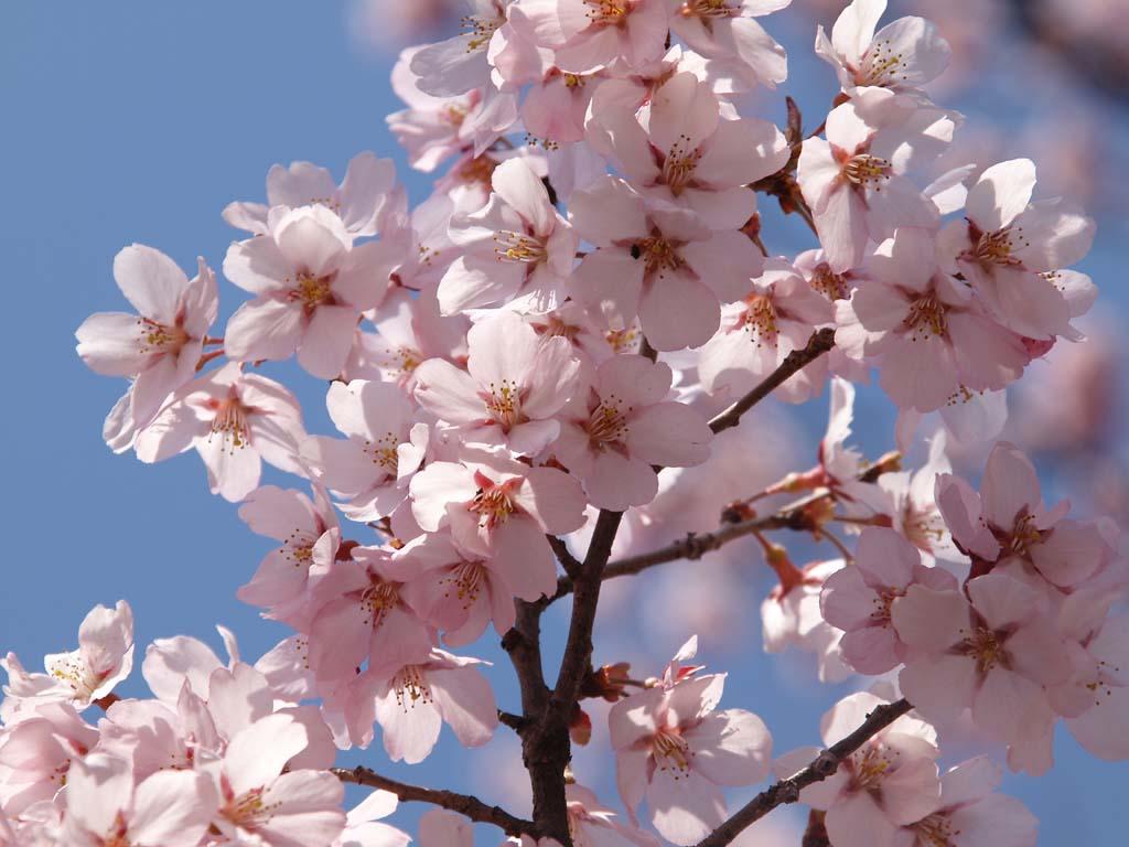 高遠城址公園の桜 「長野県伊那市高遠町」_e0127034_10511167.jpg