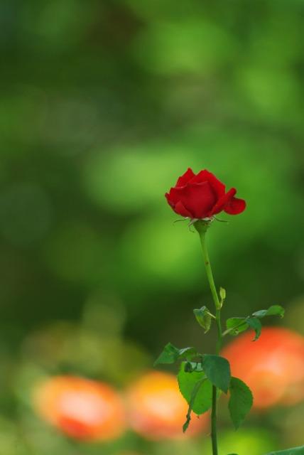 A lonely rose ~綾瀬 綾北公園~_e0063851_14505328.jpg