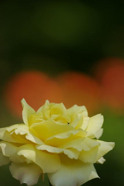 A lonely rose ~綾瀬 綾北公園~_e0063851_14511340.jpg