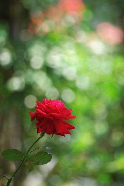 A lonely rose ~綾瀬 綾北公園~_e0063851_14513692.jpg