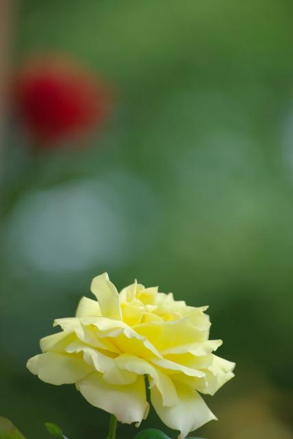 A lonely rose ~綾瀬 綾北公園~_e0063851_14524521.jpg