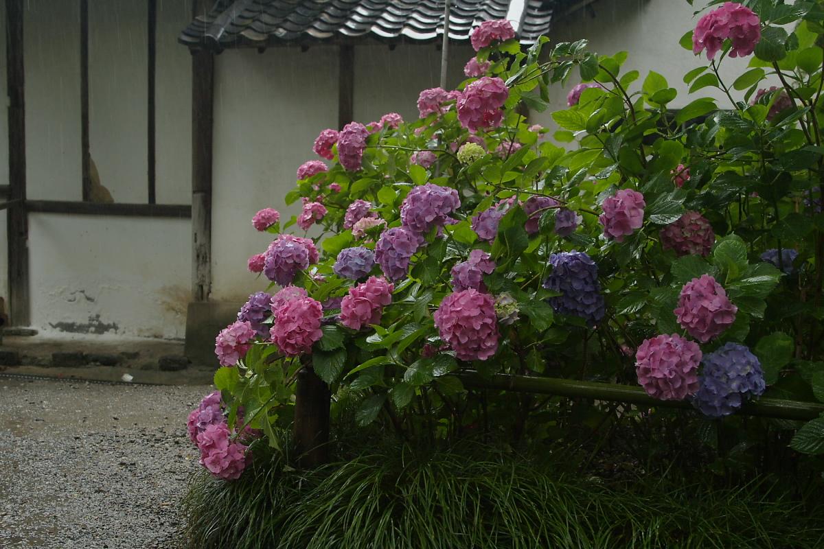 奈良 矢田寺 <紫陽花> 9_f0021869_01221.jpg