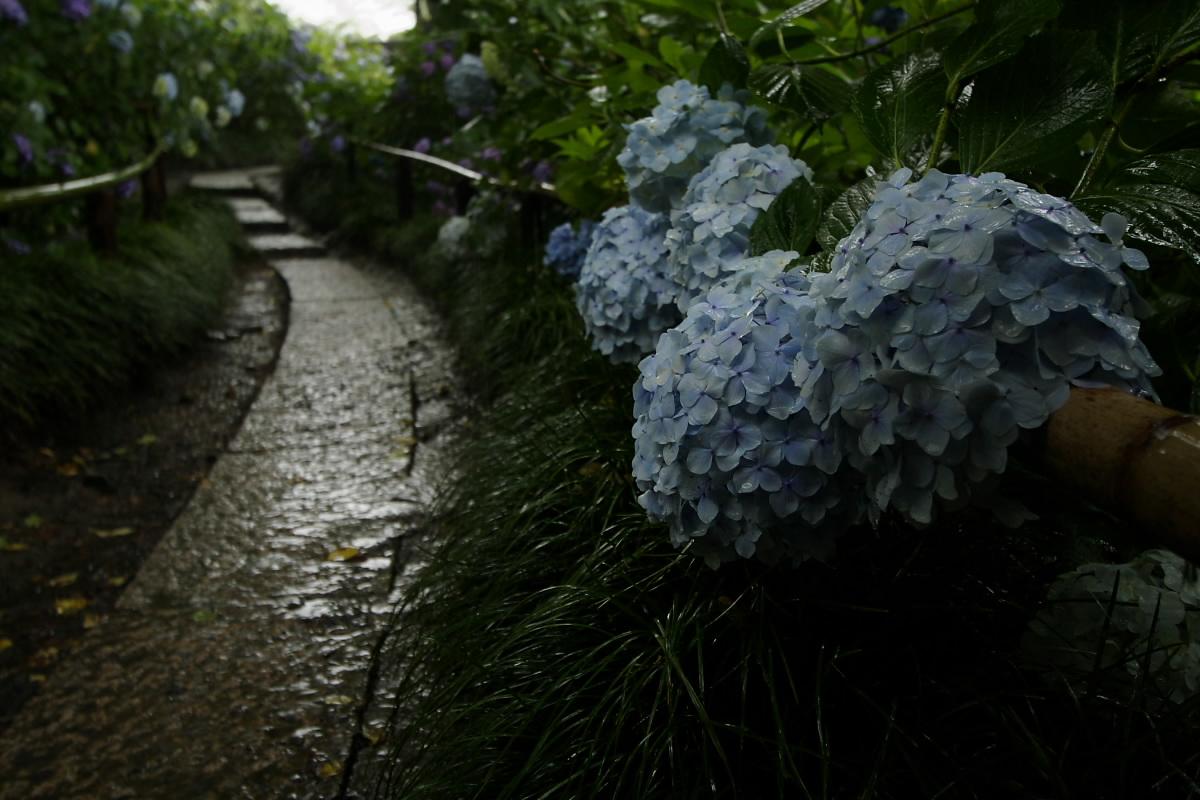奈良 矢田寺 <紫陽花> 雨_f0021869_344031.jpg