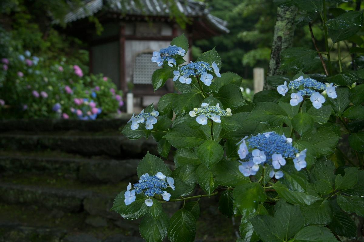 奈良 矢田寺 <紫陽花> 雨_f0021869_361326.jpg