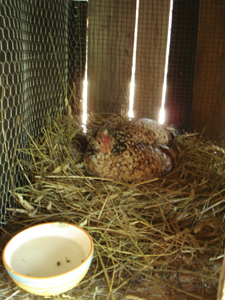 母鶏の気持ち_f0106597_20392253.jpg