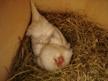 母鶏の気持ち_f0106597_20434454.jpg