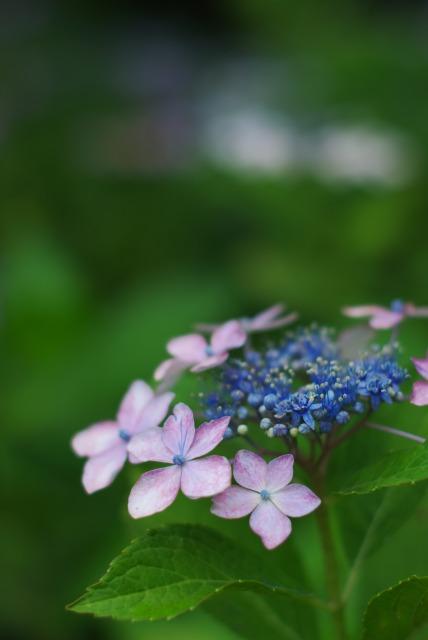 紫陽花 ~雨上がりの日~_e0063851_22471963.jpg