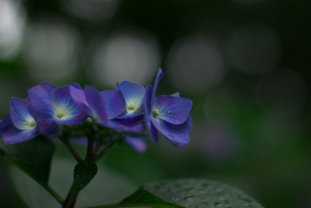 紫陽花 ~雨上がりの日~_e0063851_22474389.jpg