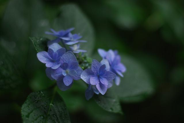 紫陽花 ~雨上がりの日~_e0063851_22511243.jpg
