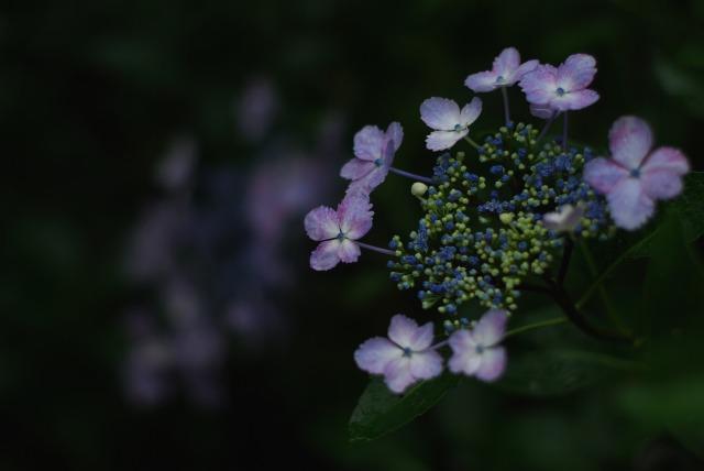 紫陽花 ~雨上がりの日~_e0063851_22513390.jpg