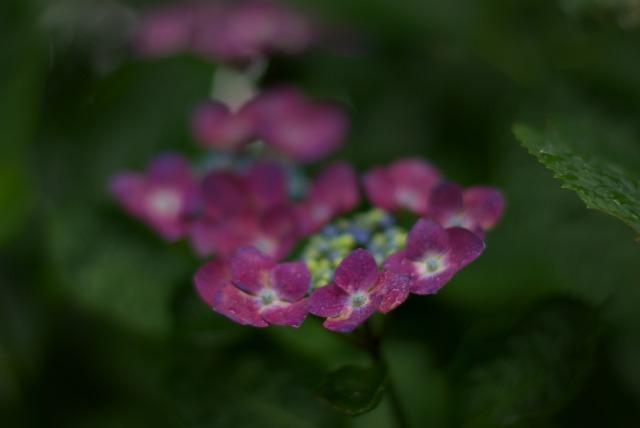紫陽花 ~雨上がりの日~_e0063851_22515486.jpg