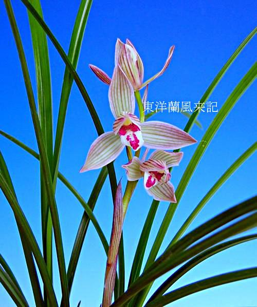 ◆中国奥地の蘭・蓮弁蘭「紫宝蓮」          No.43_d0103457_1391993.jpg