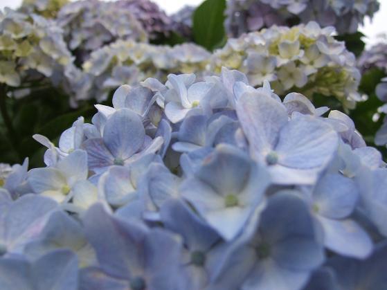 青いアネモネ 水彩画_b0089338_10121865.jpg
