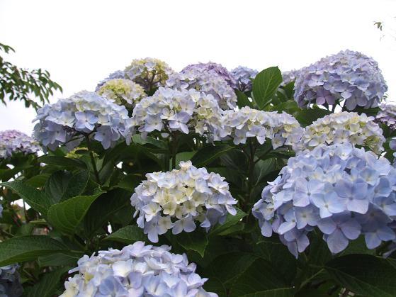 青いアネモネ 水彩画_b0089338_10132728.jpg