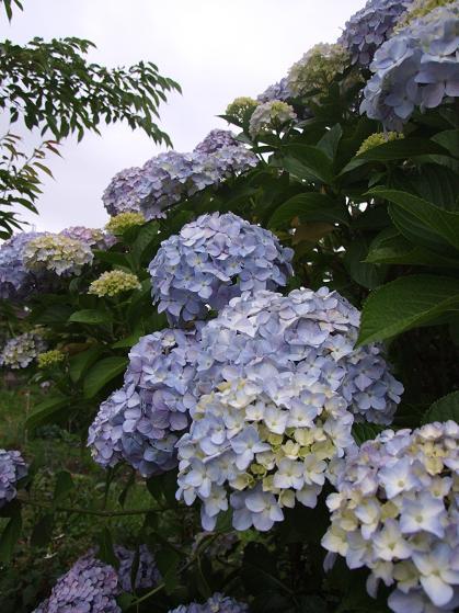 青いアネモネ 水彩画_b0089338_10142350.jpg