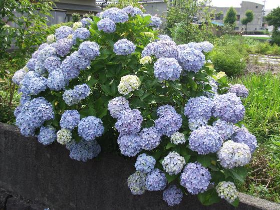 青いアネモネ 水彩画_b0089338_10144071.jpg