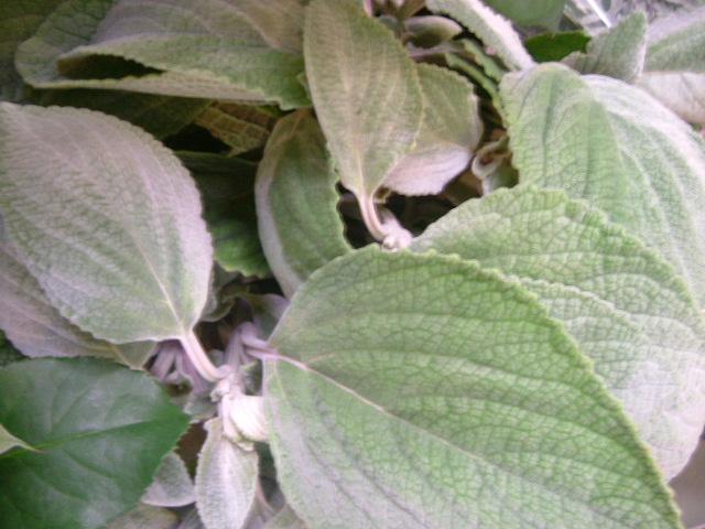 オークリーフ(個性派の花たち)_f0049672_14314712.jpg