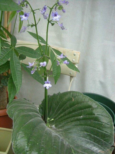 オークリーフ(個性派の花たち)_f0049672_14335512.jpg