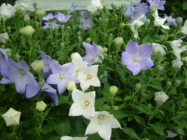 オークリーフ(個性派の花たち)_f0049672_14353067.jpg