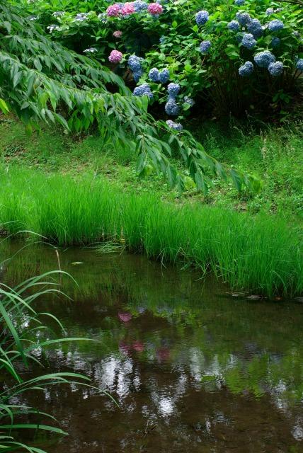 紫陽花 ~道保川公園の水辺で~_e0063851_23381284.jpg