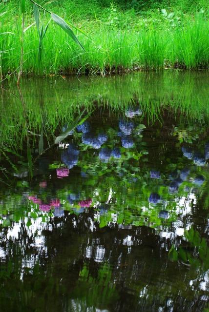 紫陽花 ~道保川公園の水辺で~_e0063851_23383085.jpg