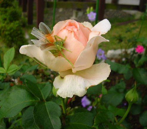 2007年6月27日(水)庭の手入れと薔薇_f0060461_15151923.jpg