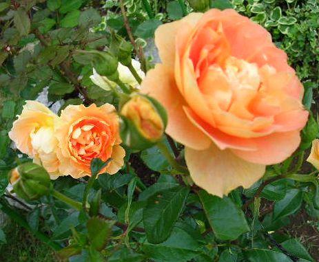 2007年6月27日(水)庭の手入れと薔薇_f0060461_15254747.jpg