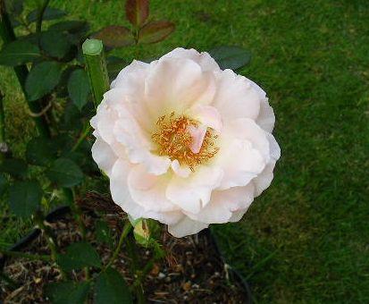 2007年6月27日(水)庭の手入れと薔薇_f0060461_15283787.jpg