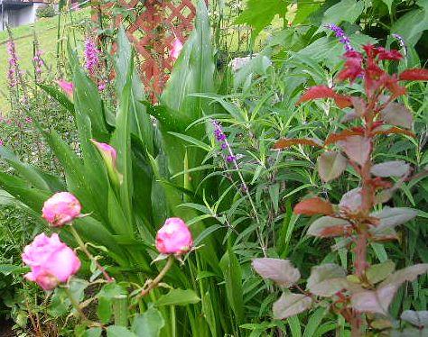 2007年6月27日(水)庭の手入れと薔薇_f0060461_1530742.jpg
