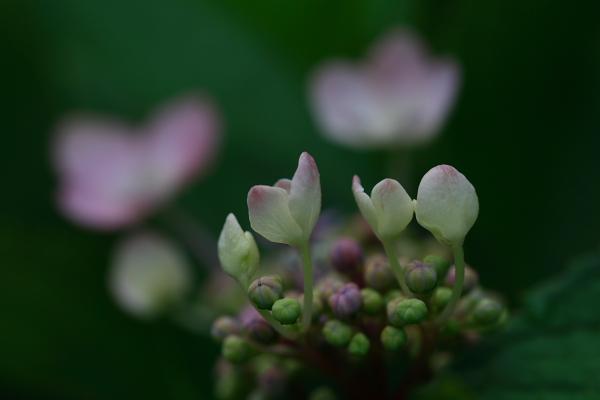 紫陽花(太閤山ランド)_e0126642_7123359.jpg